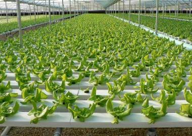 growing-lettuce-in-hydroponics-farming-system